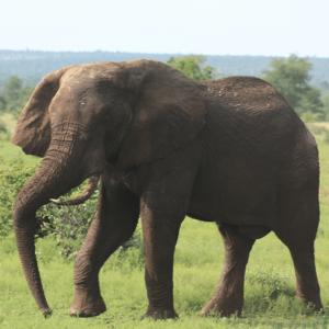 Elefantjagt